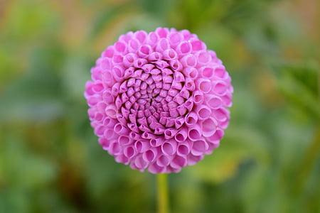 Dahlia, lill, õis, Bloom, Dahlia Aed, suve lõpus, aia taimede
