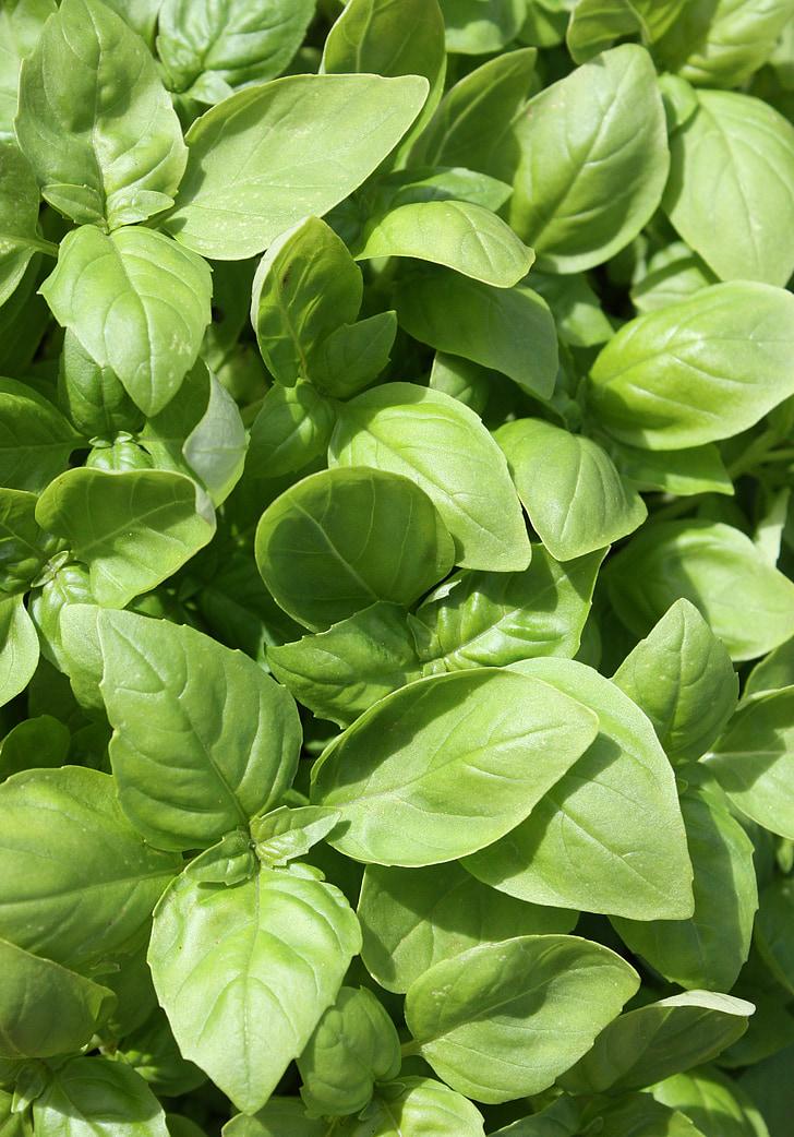 alfàbrega, herba, Spezia, planta, un ingredient, Perfum, Mediterrània