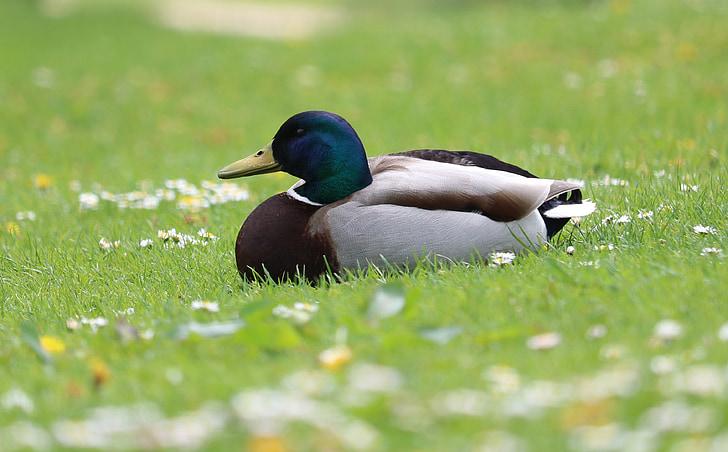 патица, зеленоглава патица, трева, цветя, птица, водолюбивите птици, мъжки