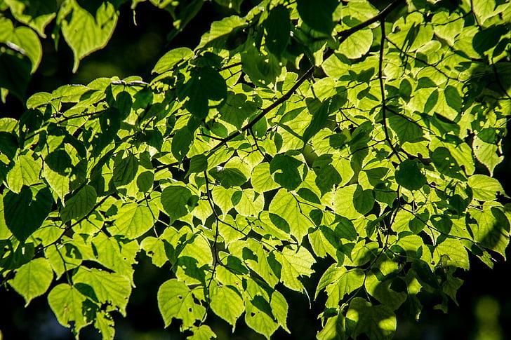 fullatge, calç, arbre, el sol, natura, bosc, verd