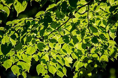 紅葉, ライム, ツリー, 太陽, 自然, フォレスト, グリーン