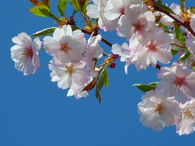 cirerers japonès, flor, flor, flor del cirerer, cirera japonesa, cirera japonesa amb flors, cirera ornamental