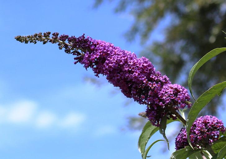 Butterfly bush, liliowy, roślina, liliowy lato, kwiaty, Violet, pozostawia