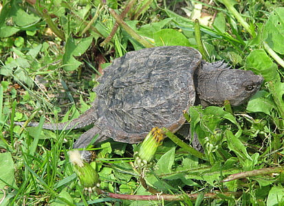 common snapping turtle, chelydra serpentina, juvenile, moneymore, ontario, canada