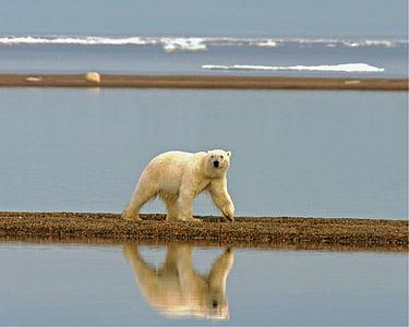 polar bear, bear, wilderness, walking, arctic, predator, wild