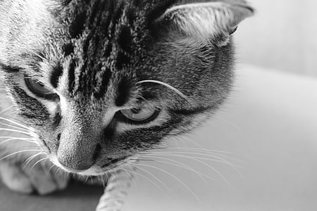 cat, pet, feline, animal, look, nice, domestic feline