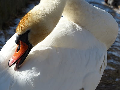 ням лебед, лебед, чисти, птица, река, езеро, води