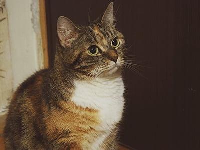 cat, eyes, feline, kitten, kitty, pet, domestic Cat