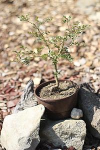 tendre, Bonsai, bodegons, petit, arbre, pedres
