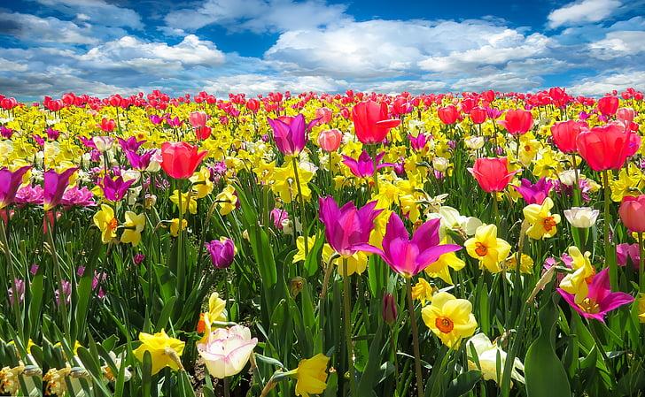 Пролетно събуждане, Пролет, frühlingsanfang, цветя, Блум, лалета, нарциси