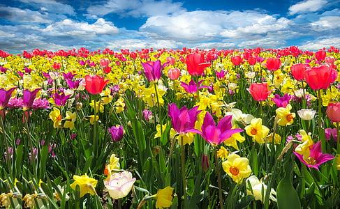 spring awakening, spring, frühlingsanfang, flowers, bloom, tulips, daffodils