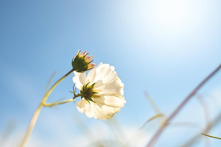 pavasarį, Pavasario gėlės, gėlės, gėlė, balta, sodas, floros