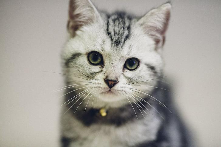 猫, ペット, かわいらしさ, 猫ミア