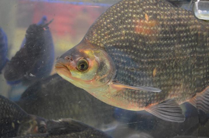 Рыба, тилапии, цихлид, виды, Весы, плавник, плавники