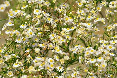 daisy, garden, shrub, white flowers, pointed flower, summer flowers, nature