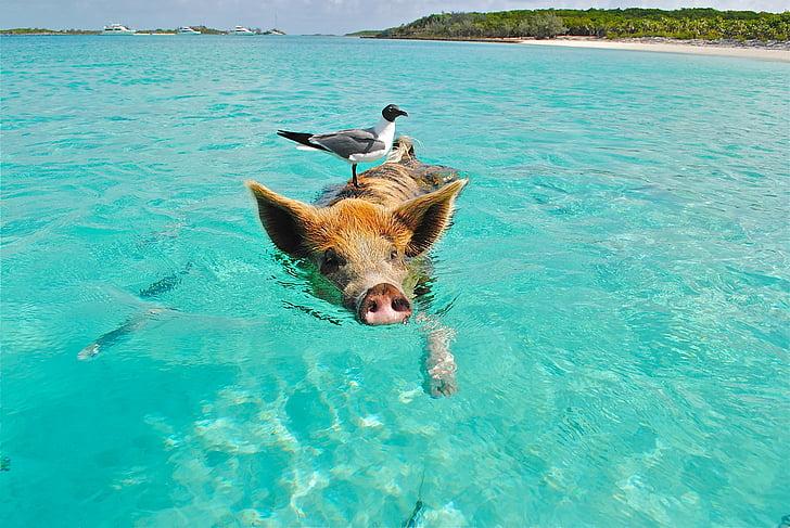 Staniel cay, uima sikaa, lokki, kala, Exumas, Bahama, eläinten