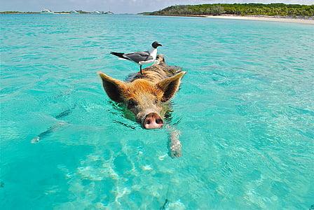 Staniel korau rifs, peldēšanas cūka, kaija, zivis, Exumas, Bahamu salas, dzīvnieku