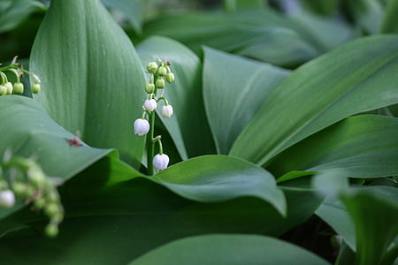 thrush, flower, bell, spring, 1 ° may, lily of the valley