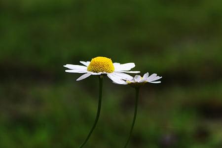 Margarida, compòsits, flor, blanc, flor, flor, l'estiu