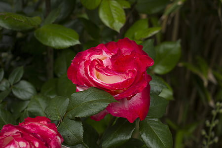 กุหลาบ, ดอกไม้, ธรรมชาติ, สวน, ดอกไม้ดอกกุหลาบ, ดอก, บาน