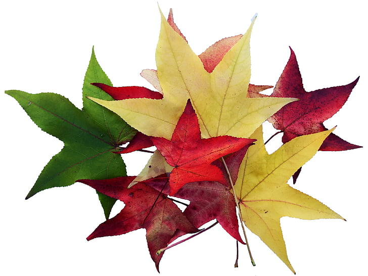 maple, leaves, colorful, collect, isolated, emerge, autumn
