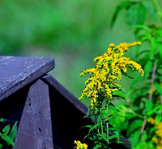 zlate, plevela, cvet, rumena
