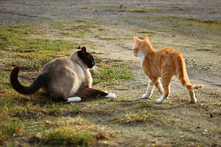 cat, kitten, siamese cat, play, siamese, fight, red mackerel tabby