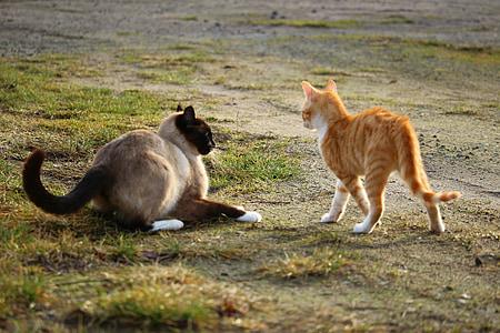 猫, 子猫, シャム猫, 再生, シャム, 戦い, 赤・ マッカレルタビー
