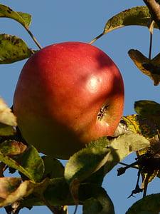 яблоко, фрукты, Яблоня, спелый, красный, сладкий, вкусный