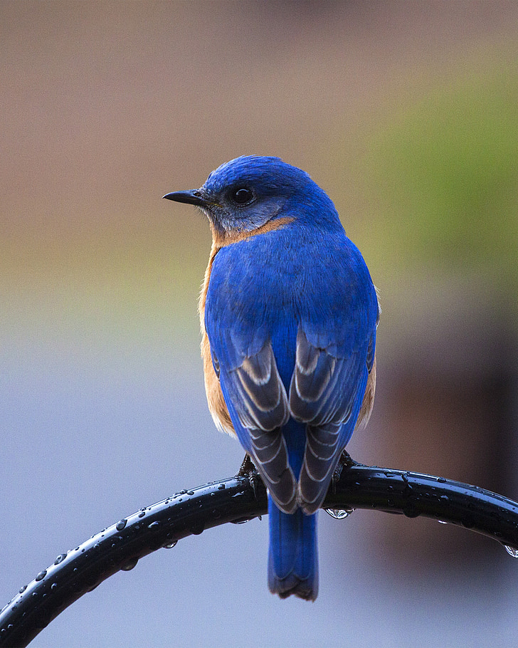 ptica, plava ptica, Emblem grada plava ptica, plava ptica na smuđa, priroda, plava, životinja