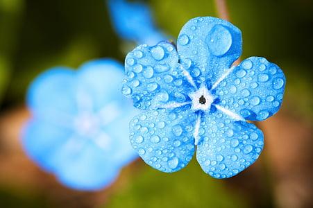 цвете, макрос, Забравете, капково, вода, дъжд, роса