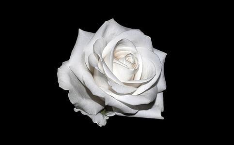 Rosa, blanc, fons, Rosa blanca, creatiu, Rosa - flor, pètal