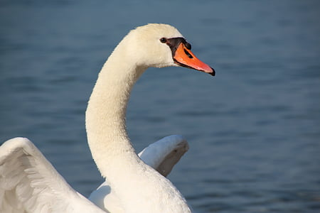 swan, white, white swan, bird, nature, animal, lake
