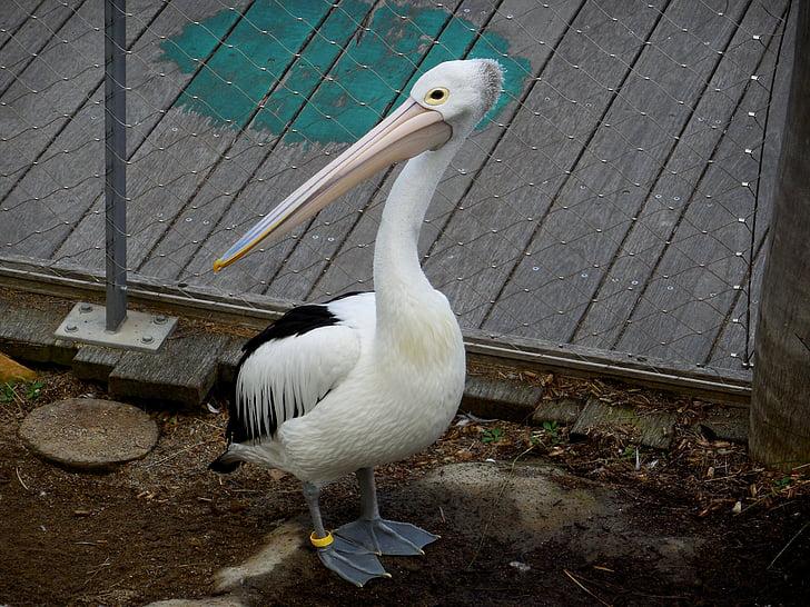 Pelican, lintu, häkkilintu, Luonto, Wildlife, eläin-valokuvaus, harmaa-pelican