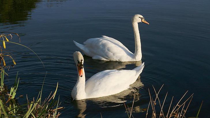 swans, pond, white, swan, animals, water, majestic