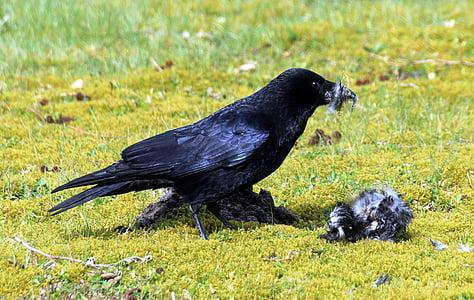 crow, raven, raven bird, black, bird, rook, songbird