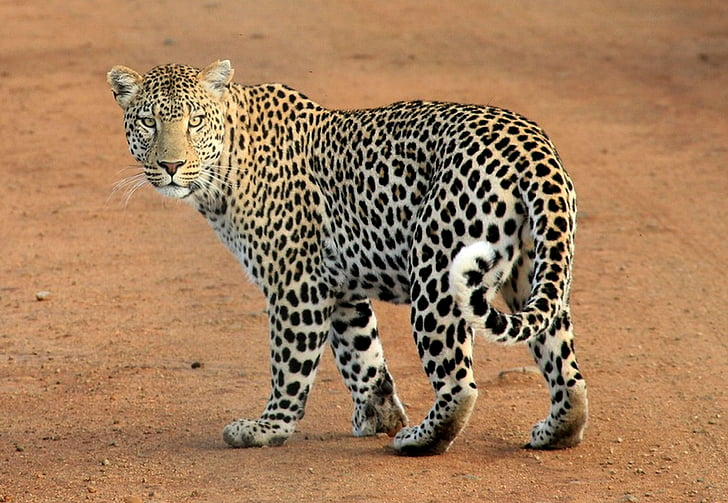 animal, leopard, predator, safari, wild, wild animal, wildlife