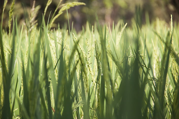field, green, rice, rice fields