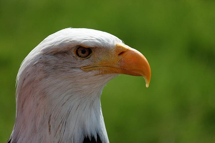 Адлер, бил, птица, едър план, орел, раптор, Съединените щати на Америка