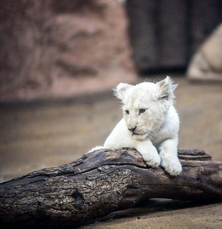 ライオン, ホワイト ライオン, 大きな猫, たてがみ, 目, 自然, wallpapper