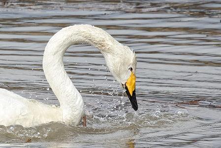 animal, swan, cygnus columbianus, swan lake, drop of water, drop, water