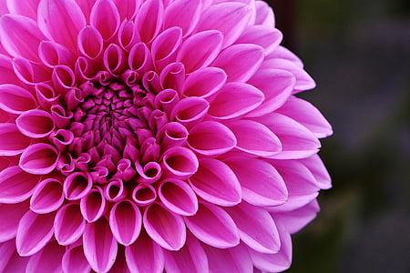 dàlia, Dàlies, tardor, asteràcies, jardí de flors, flor ornamental, jardí de dàlia