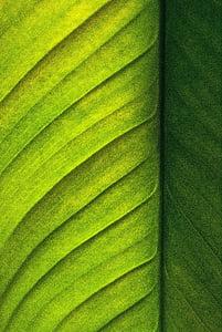 Leaf, Zelená, Príroda, rastlín, tmavozelená, osvetlenie, detailné