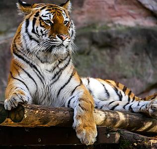 animal, tiger, predator, cat, attention, tiergarten nürnberg, one animal