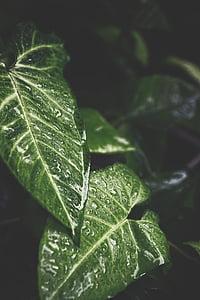 dug, dråber, dråber, grøn, blade, naturlige, natur