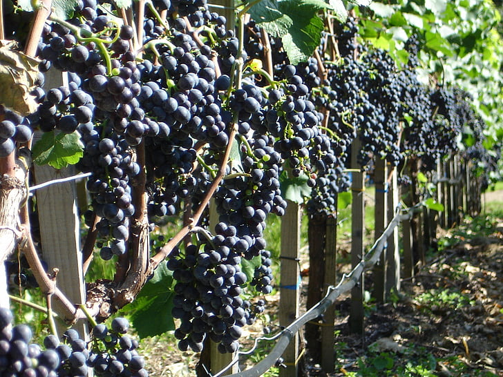 grapes, plant, wine, cultivation