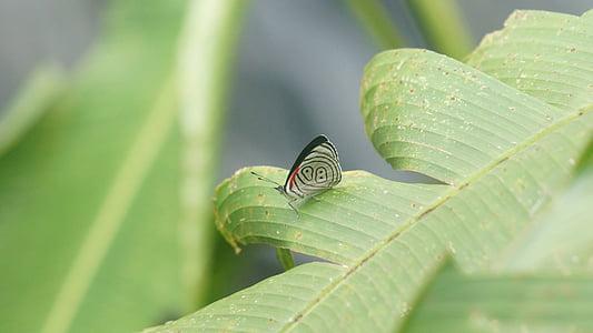 l'Equador, papallona, verd, món, natura, medi ambient, natural