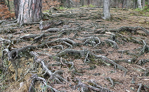 forest floor, root, overgrown, gnarled, root system, nature, forest