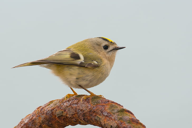 goldcrest, regulus regulus, bird, songbird, small, nature, migratory bird