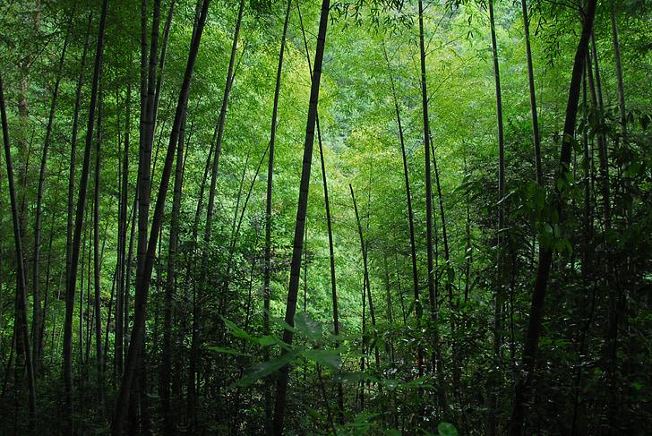 bambus, zelena